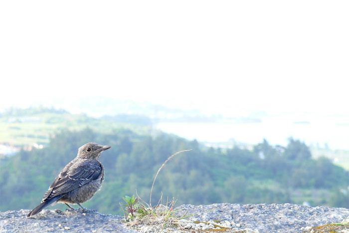 沖縄 勝連城跡の小鳥