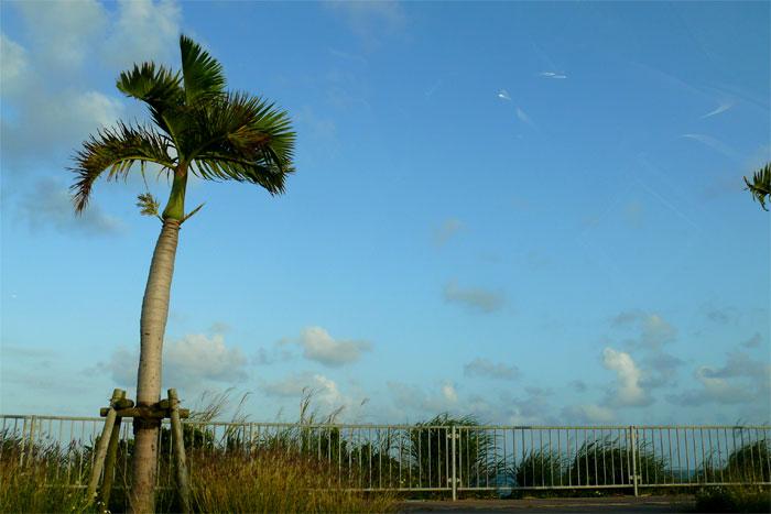 沖縄 車道沿いのヤシの木
