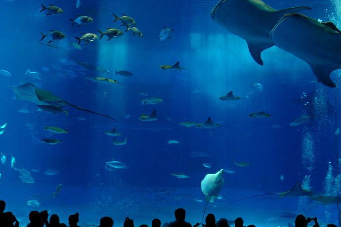 沖縄 美ら海水族館 仲睦まじいジンベイザメ
