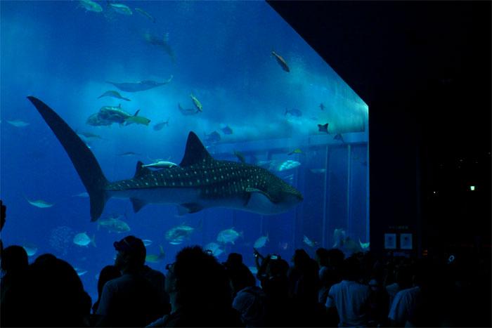 沖縄 美ら海水族館 ジンベイザメ
