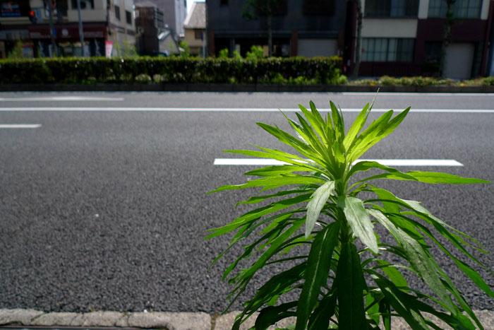 道路に輝く草