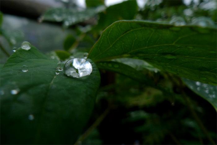あじさいの手前の水滴