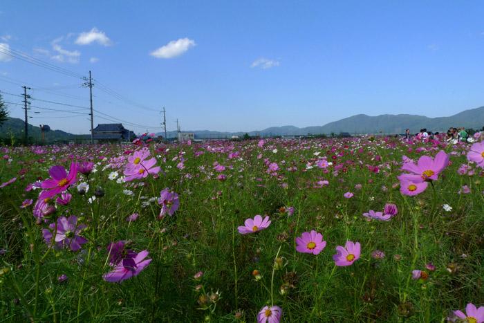 亀岡 コスモス園