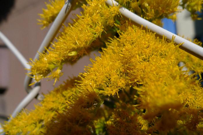 黄色の満開