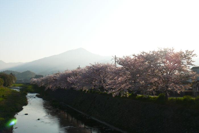 満開 朝日を浴びる高野川の桜