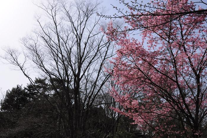 祇園寺祇女桜