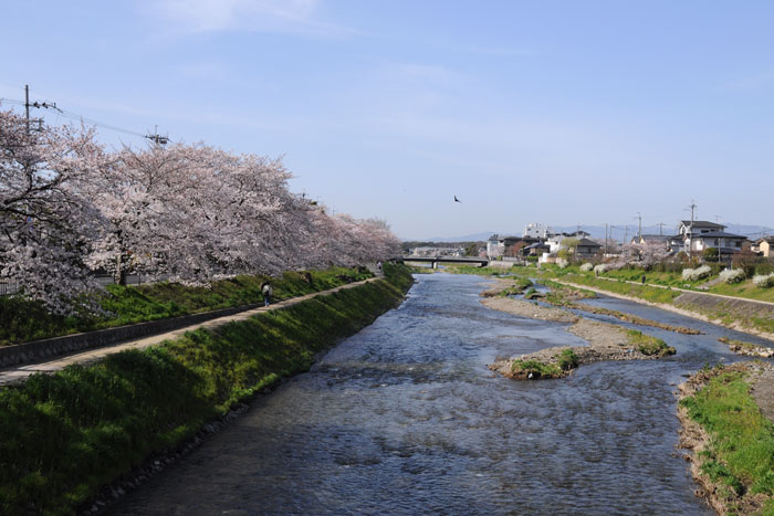 満開!高野川の桜