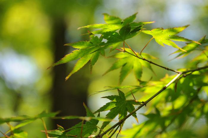 新緑の糺の森