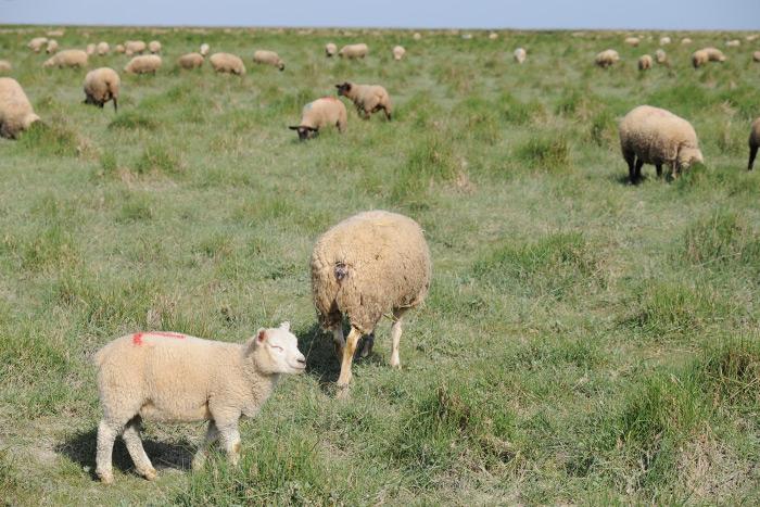 かわいい子羊