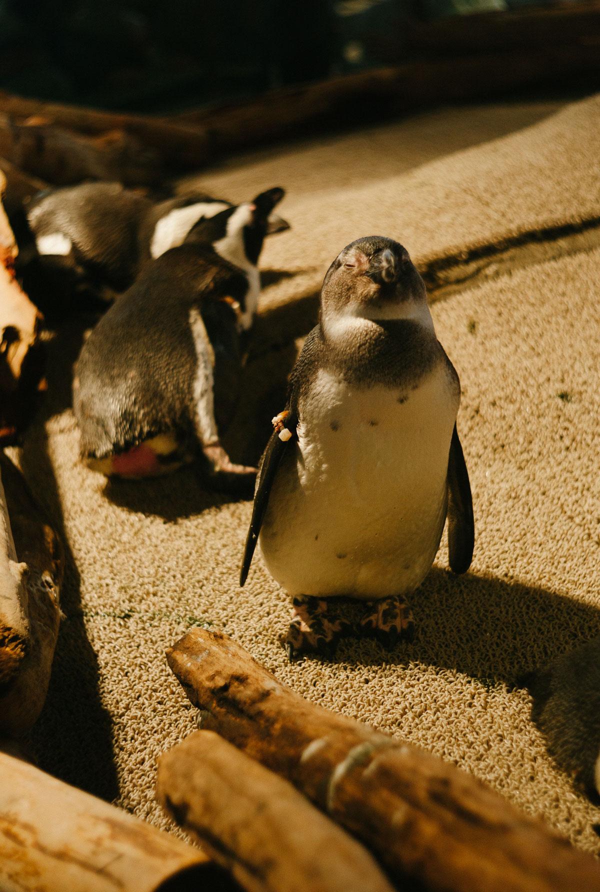 ニフレルの眠そうなペンギン