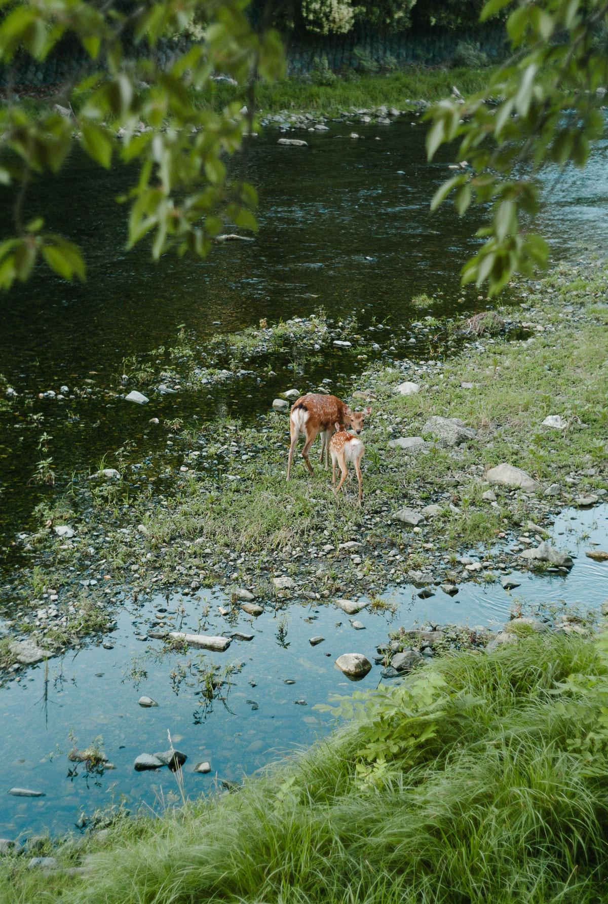 高野川に住み着いた鹿の親子