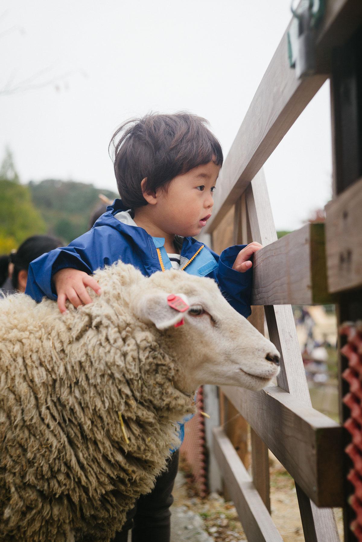 六甲山牧場で羊の肩を抱きながら