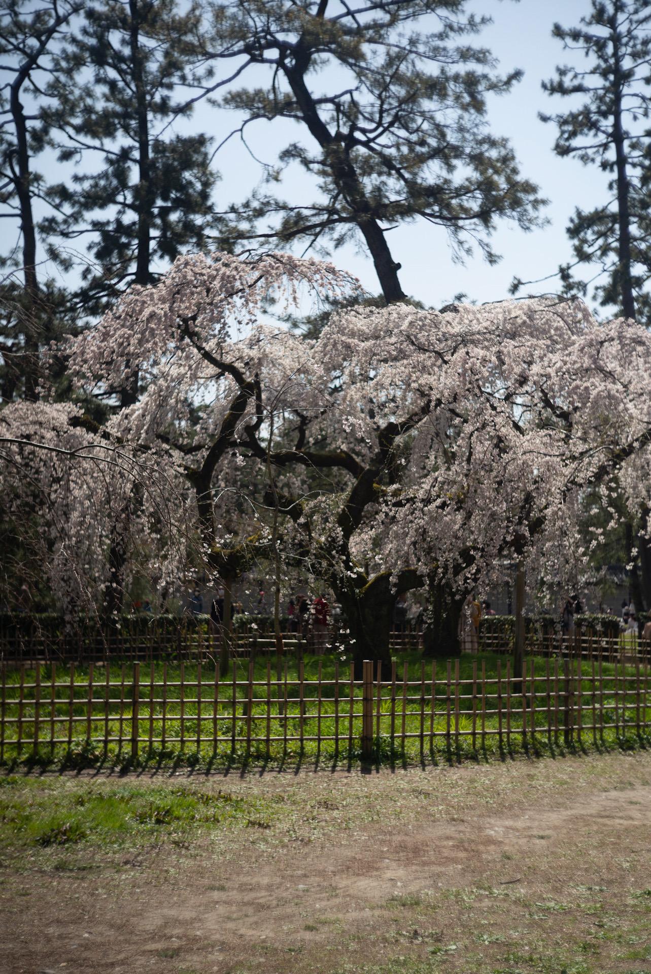御所の糸桜