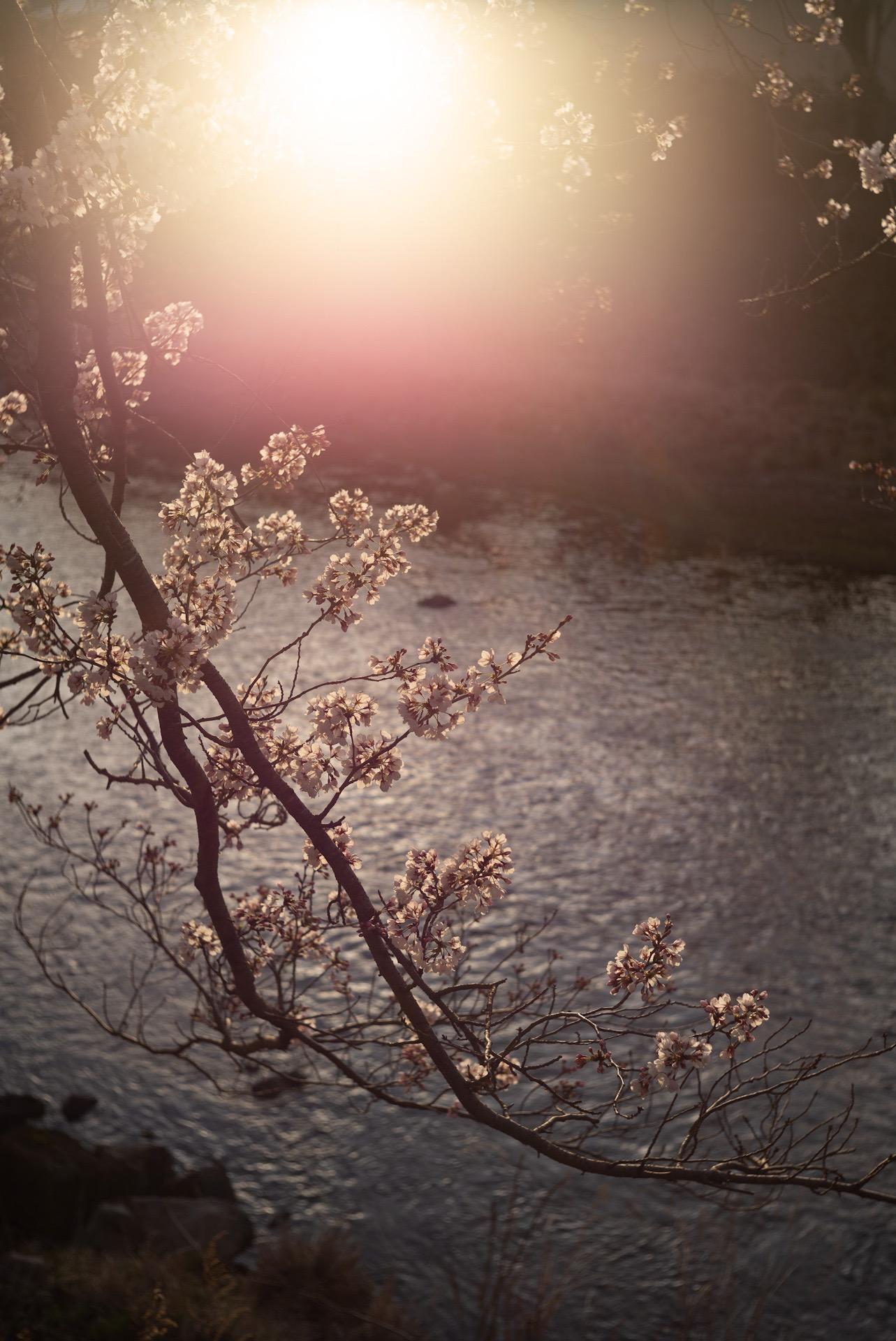 逆光に輝く桜