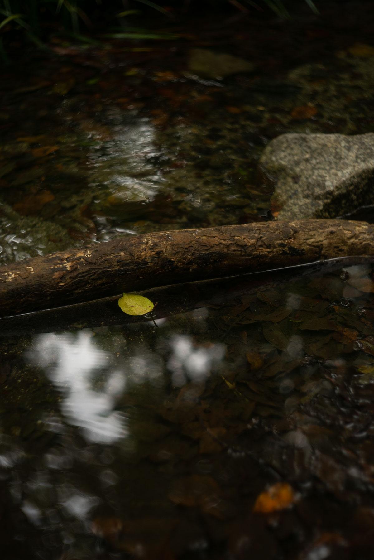糺の森の黄色い葉っぱ