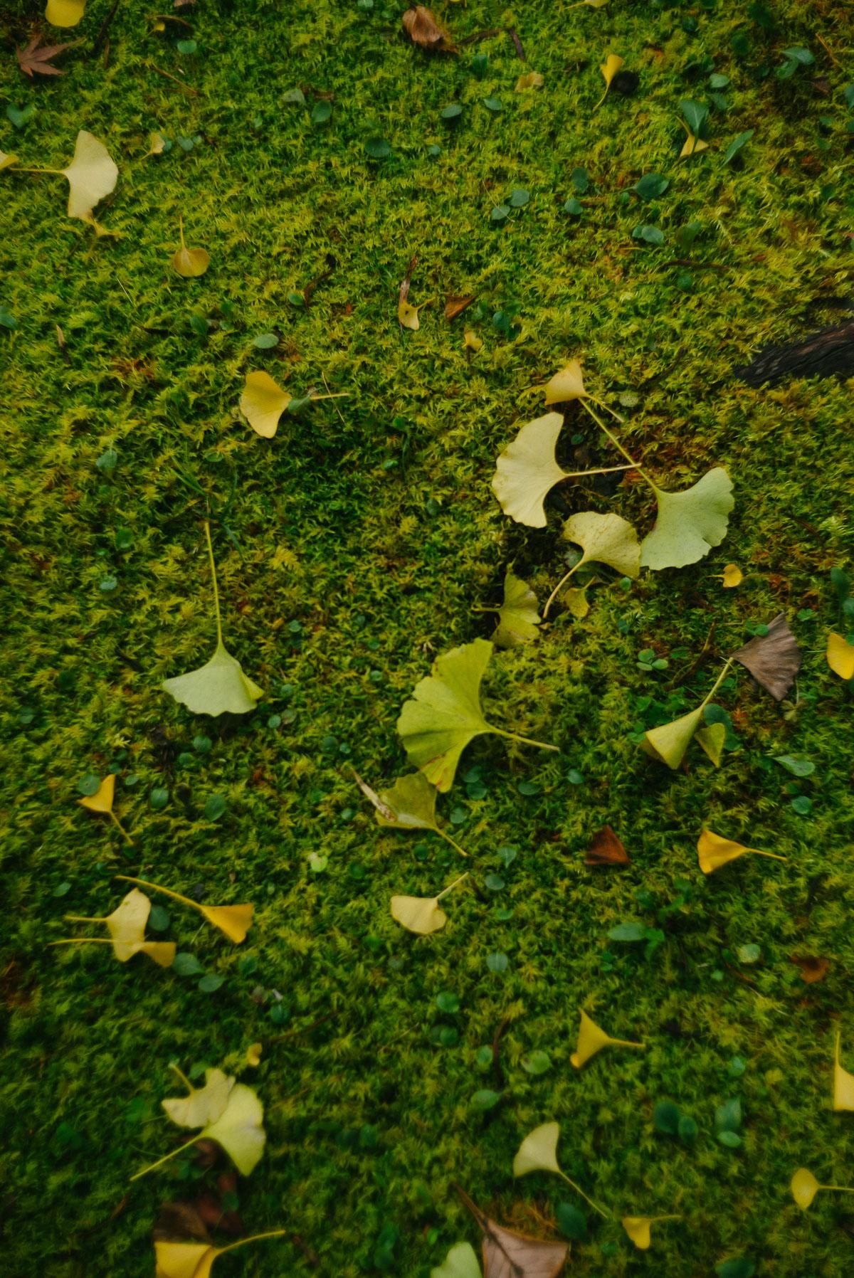 岩戸落葉神社 苔の上のイチョウ