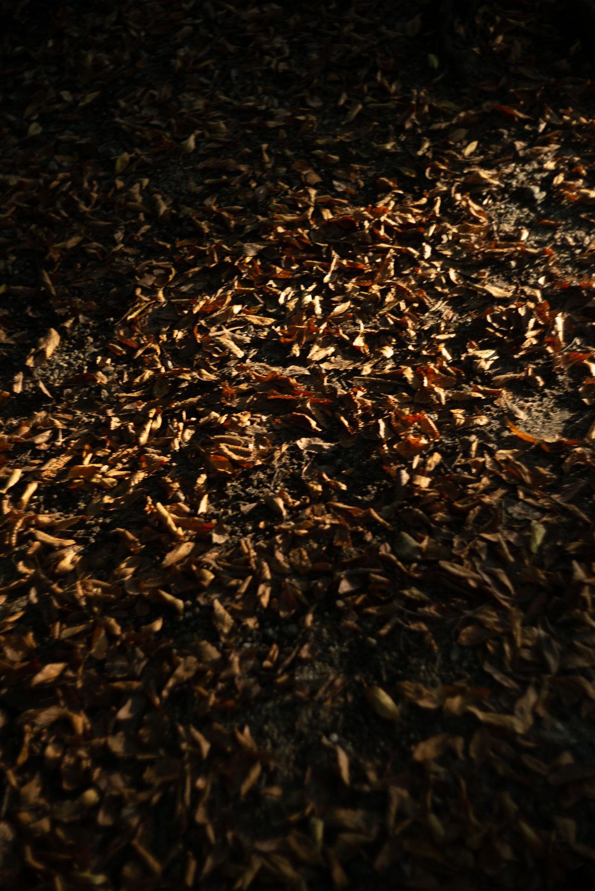 糺の森の落ち葉